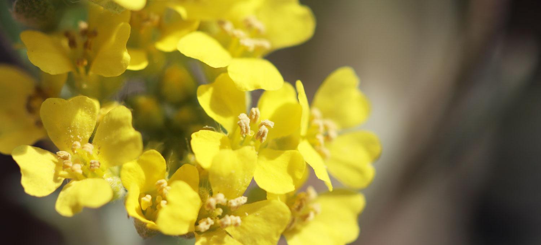 Blüte des Berg-Steinkrauts