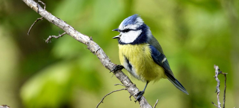 Vogelstimmenhotline: Singende Blaumeise