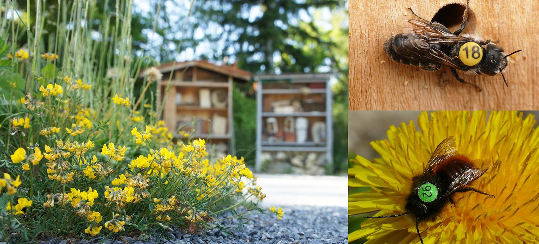 studie flugradius wildbienen