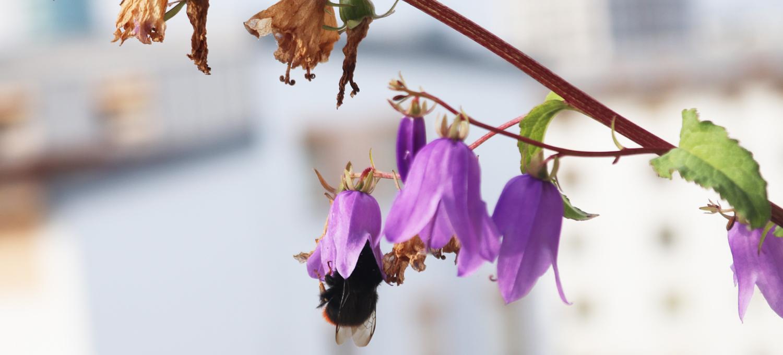 Steinhummel-Jungkönigin in einer Acker-Glockenblume im Oktober