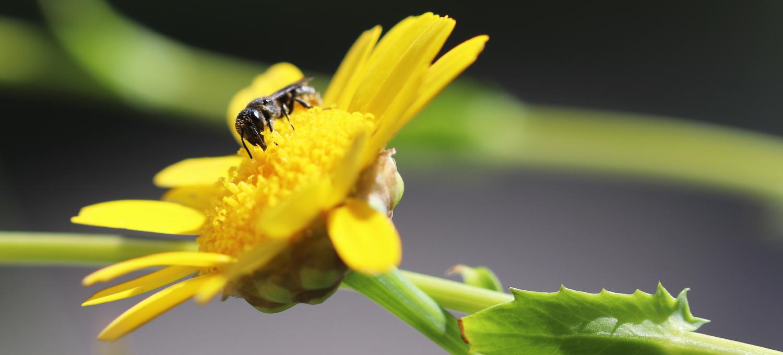 Saat-Wucherblume mit Wildbiene auf dem Wilden Meter im Juni 2020